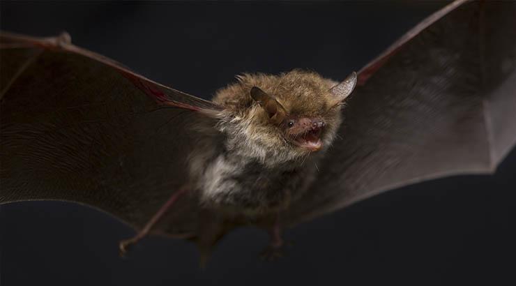 Fledermäuse und ihr Liebesglück - Auf dem Weg ins Liebesglück, eine Bechsteinfledermaus im Herbst.