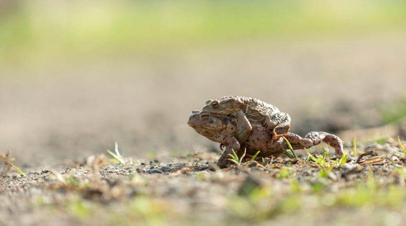 Amphibien wechseln die Straßenseite